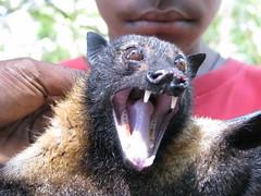Flying fox face (kahunapulej) Tags: fruit flying bat fox png papuanewguinea flyingfox province spectacled bogis madang niugini conspicillatus pteropus kahunapulej bilak kahunapule