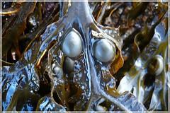 13 - 25 octobre 2009 Saint-Malo Plage de Bon-Secours Algues (melina1965) Tags: leica seaweed macro lumix october bretagne panasonic picturesque plage 2009 atg anythinggoes saintmalo octobre algues gr8 seaweeds plages algue illeetvilaine fx10 geniiloci imagesofharmony clickthecamera