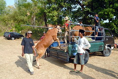 KARAPAN SAPI (Claude  BARUTEL) Tags: boy race indonesia bull tradition madura sapi karanpan