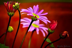 Pink Daisy Day... [Explore] (Julia Schlesinger) Tags: pink flower nature photography daisy supershot theunforgettablepictures goldstaraward natachayedmore julianataliae