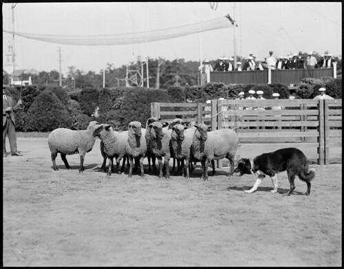 sheep dog and sheep at