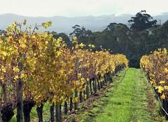 Rolling away (Murfomurf) Tags: autumn gold grey vineyard cool vines afternoon australia trellis hills rows