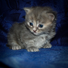 When I was just a little kitten.. (crsan) Tags: cute kitten small can be katt  st liten crsan holmr christianholmercom