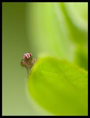 La mouche du vinaigre (tany_kely) Tags: macro green nature leaves animal fruit digital canon insect eos fly leaf vert laboratory vinegar experimentation vinaigre feuilles insecte mouche exprience drosophila laboratoire melanogaster drosophilidae drosophile 450d meigen rebelxsi