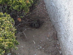 Little groundhog head (wwhyte1968) Tags: fone