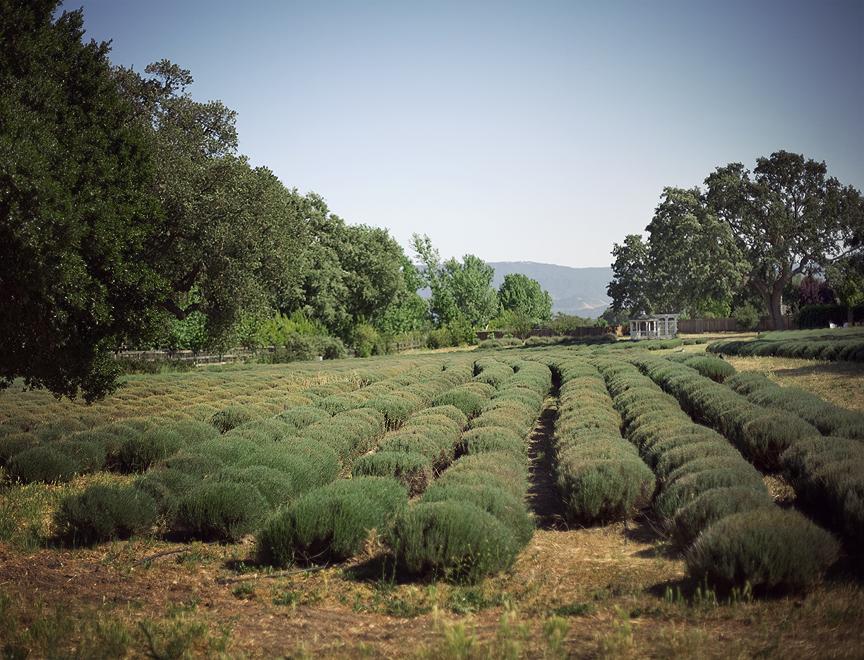 Clairmont Farms Lavender, Los Olivos