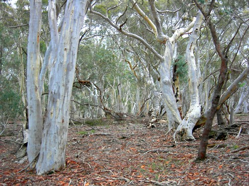 Ghostly gums by Alison