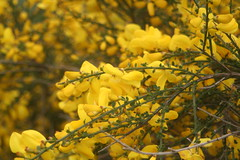 WILD BROOM. (the water watcher 05.) Tags: flowers plant macro green nature yellow rural scotland countryside dof bokeh may yellowflower wildflower canoneos350d shrubs broom borders orchardhill summerflower hawick scottishborders roxburghshire wildbroom wildbroomshrub cysitusscoparius