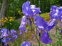 Flower Power (star_cosmos_bleu) Tags: flowers iris summer colors supershot flowerotica mykindofpicturegallery
