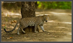 Indian Leopard |  Kanha Tiger Reserve (The Eternity Photography) Tags: india tourism nature look animal canon mammal nationalpark wildlife safari leopard bigcat stare ontheroad 2009 sanctuary wildlifesafari digitalphotography madhyapradesh kanhatigerreserve carnivora kanha badrinath felidae centralindia wildlifephotography wildindia indianwildlife kanhanationalpark incredibleindia savethetiger kanhawildlifesanctuary indianleopard santanubanik theeternity flickrbigcats pantherapardusfusca httpwwwfrozenforeternitycomimagesindexphp     leopardinthewild badrinathkanha    wwwfrozenforeternitycom tadka09wk36