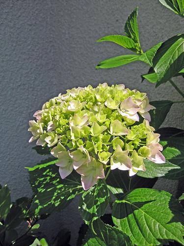 Garden- Hydrangea
