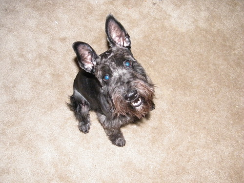 Dobby the Miniature Schnauzer