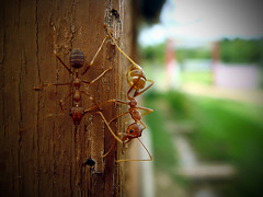 DSC03460 (AdamCLT) Tags: macro closeup adobephotoshop sony ant insects ants semut t200 sonyt200