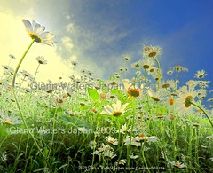 Reach the sky  (Explored)  © Glenn Waters. Japan. Over 34,000 visits to this photo. Thank you! (Glenn Waters ぐれんin Japan.) Tags: flowers summer sky art japan clouds daisies nikon explore daisy marguerite nikkor 夏 japon そら 弘前 explored ニコン d700 nikond700 natureselegantshots ぐれん glennwaters nikkorafs1424mmf28
