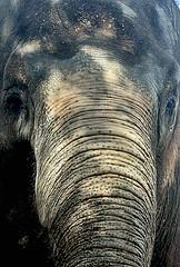 Mamma Africa (:: Flavio Cond ::) Tags: elephant animal rio zoo zoolgico tromba elefante paquiderme flavioconde cfrj flaviocond