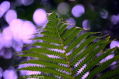 happy bubbly bokeh wednesday ! (suesue2) Tags: plant fern green bokeh bubbly hbw suesue2 suefraserphotography