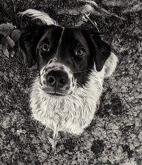 Lilly (Marc Bibby Dogtography) Tags: dog portraits for mono mutt place iphone crossbreed a thelittledoglaughed sprollie