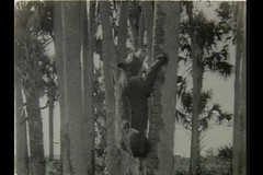 """A Bear in a Cabbage Palm Hammock,"" from ""Scenes of the Everglades"" by Homer Augustus Brinkley (1928) (State Library and Archives of Florida) Tags: bear black cub florida seminoles palm hammock cabbage everglades 1928 statelibraryandarchivesofflorida homeraugustusbrinkley williambfeeland"