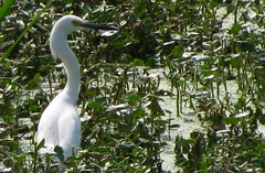 Snowy Egret (L!@M) Tags: birds phinizyswampnaturepark canonpowershotsx110is