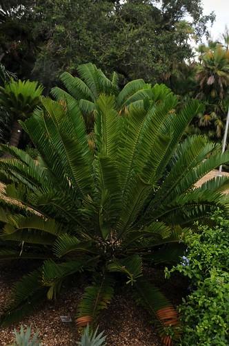 encephalartos natalensis x woodii