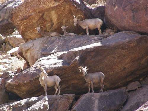 photographs taken during 39th annual sheep count at anza borrego desert