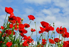 . . . (anniedaisybaby) Tags: flowers blue red clouds garden petals waiting day clear poppy blueskies almostgone naturesfinest papaverrhoeas andyou memoriesof bytheshore texturelesbrumesthankyou likeseaaroundashore elusivesummer