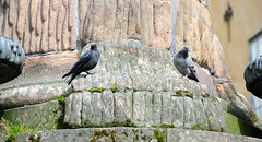 Birds having a chat (Katarina Rytting Photography) Tags: summer birds sweden stockholm dove crow nikon18200mmvr nikond300