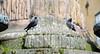 Birds having a chat (Katarina Rytting Photography) Tags: summer birds sweden stockholm dove crow nikon18200mmvr nikond300