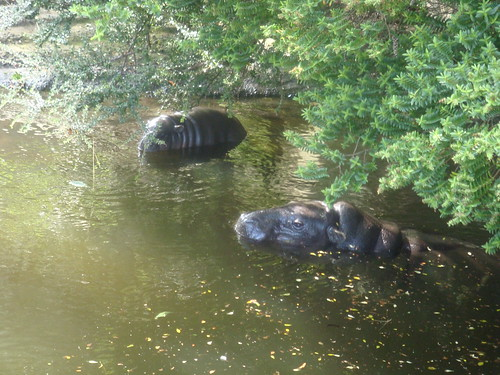 Pigmy hippo and little baby girl