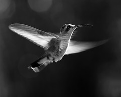 Blanco y negro (risquillo) Tags: bw motion nature fly nikon hummingbird action d2x explore frontpage blackandwithe risquillo