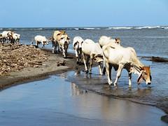Tortuguero 710 (darkbees) Tags: sea beach canon mar is costarica cows playa powershot tortuguero vacas caribe sx sx200 sx200is