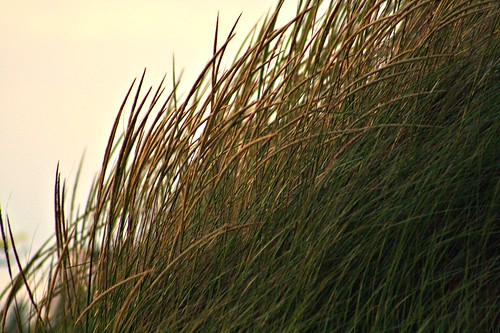 dune grass beckoned by twilight~