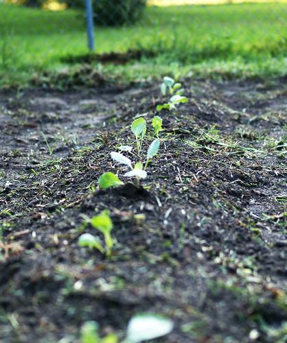 little cabbage plants