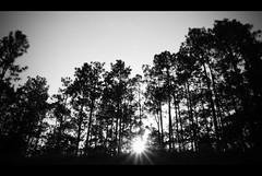 where will you go? (j_Stone) Tags: trees pine nirvana