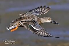 bif3 (Wild Wings Photography) Tags: wild bird nature duck nikon flight 300mm waterfowl northern f4 shoveler d300