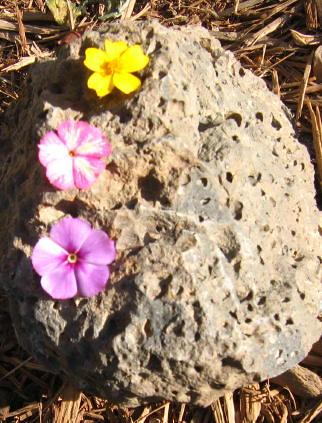 Fairy flowers in lava rock