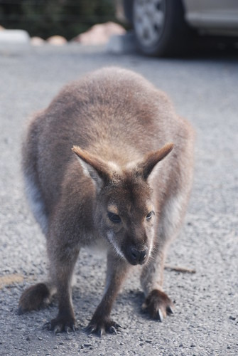 Wallaby - Coles Bay
