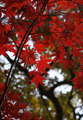 Autumn Leaves, Mt. Takao (torode) Tags: autumn mountain japan hiking  monkeys   takao     bentorode benjamintorode