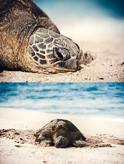 Honu (Jeremy Snell) Tags: beach animal hawaii sand oahu turtle north shore honu honolulu haleiwa