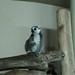 Taipei Zoo Lemurs 3