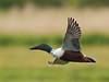 Northern shoveler (Anas clypeata) - Explore'd (PeterQQ2009) Tags: holland birds anasclypeata