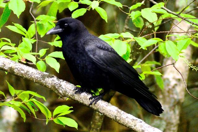 hudson crow
