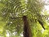 fern tree fronds (*ambika*) Tags: morere reserve newzealand vacation nature green hiking fern tree ferntree kiwi