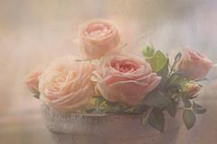 My roses in a pot (BirgittaSjostedt.) Tags: rose flower pot indoors window closeup birgittasjostedt texture paint beauty still light soft