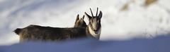 Camosci17 (Lunghefocali.snc) Tags: camoscio rupicaprarupicapra dolomiti valdifiemme trentino altamontagna biancoenero wildlife nature