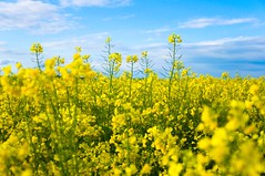 I Dreamed to be a Flower (Benoît Verez) Tags: flower fleur field yellow jaune champ rapeseed colza tobeaflower