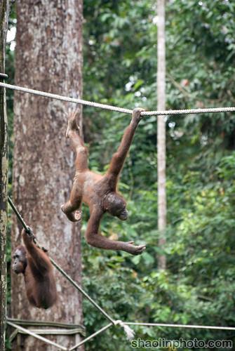 Sepilok Orang Utan Sanctuary - Sabah, Malaysia