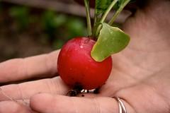 radish5 (fortheloveofgrowing) Tags: allotment radish growyourown