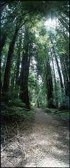 (j. forest) Tags: ca color film analog woods fuji horizon panoramic valley 400 epson redwood russian muir 202 xtra c41 v500 treesmill