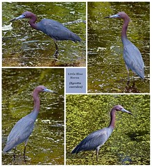 Little Blue Heron collage